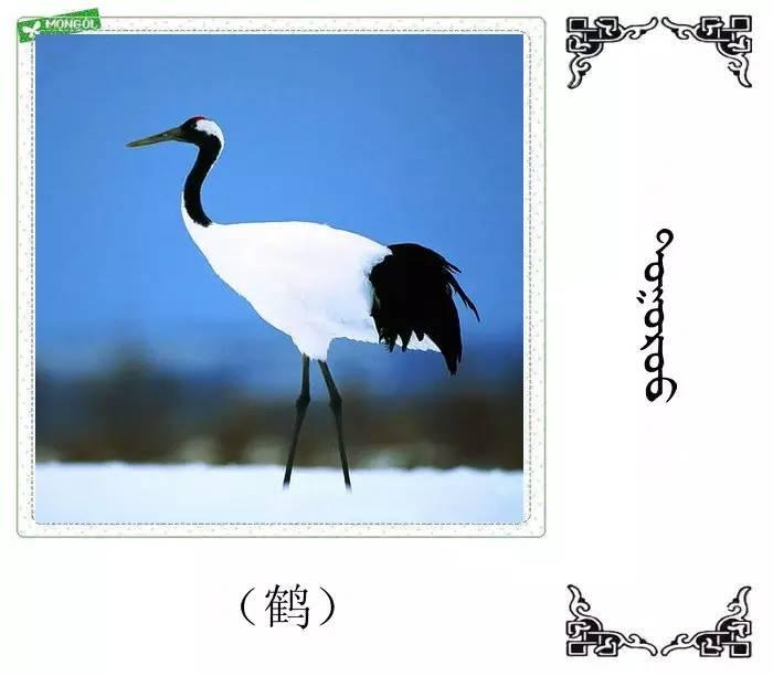54种鸟类的名字,双语解释(蒙古文 汉语) 第12张