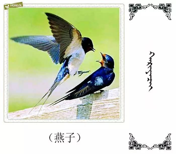 54种鸟类的名字,双语解释(蒙古文 汉语) 第17张