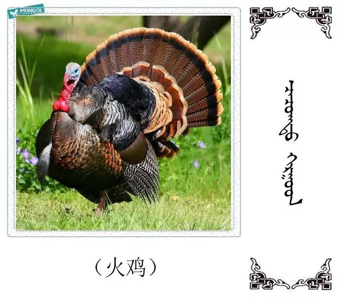 54种鸟类的名字,双语解释(蒙古文 汉语) 第15张