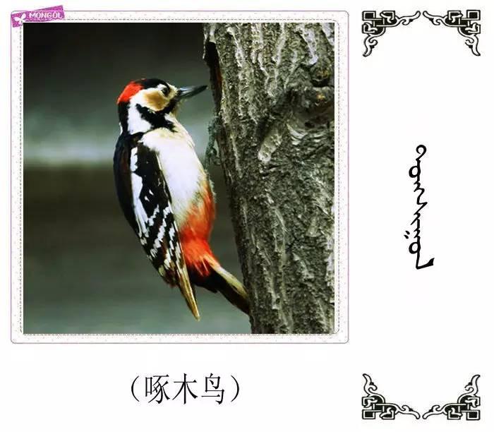54种鸟类的名字,双语解释(蒙古文 汉语) 第20张