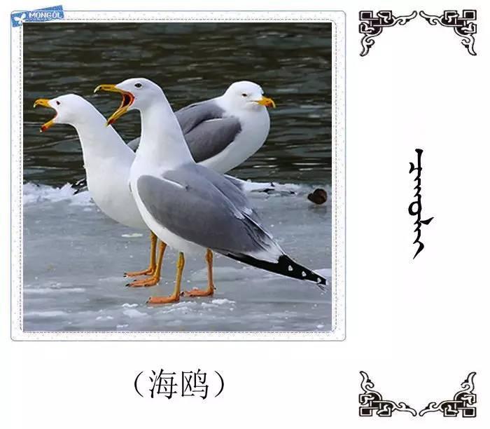 54种鸟类的名字,双语解释(蒙古文 汉语) 第22张