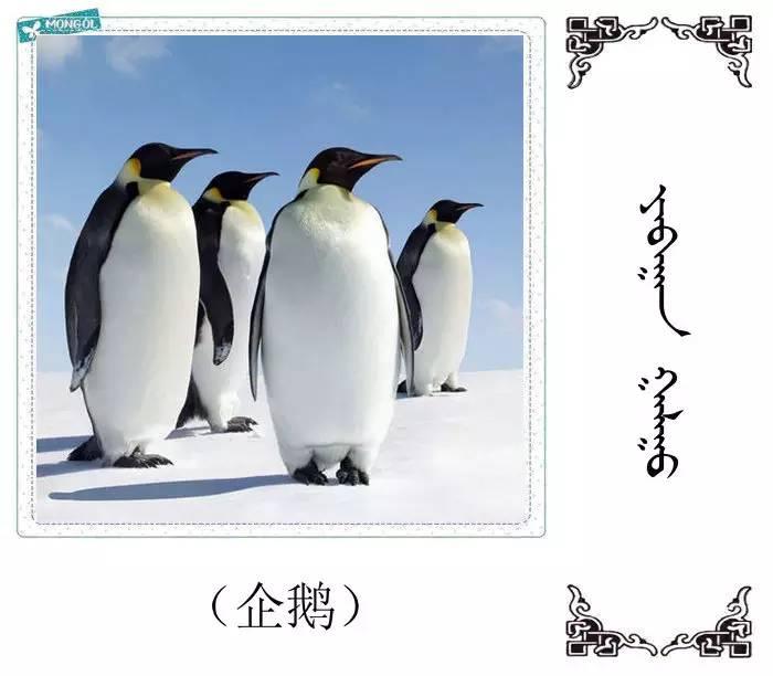54种鸟类的名字,双语解释(蒙古文 汉语) 第23张