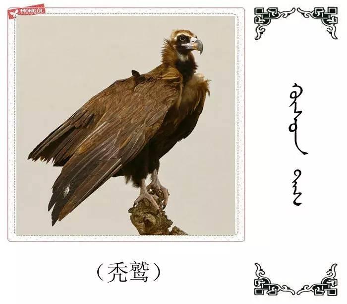 54种鸟类的名字,双语解释(蒙古文 汉语) 第19张