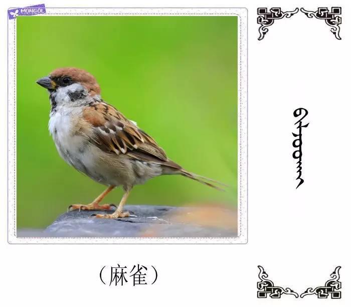 54种鸟类的名字,双语解释(蒙古文 汉语) 第21张