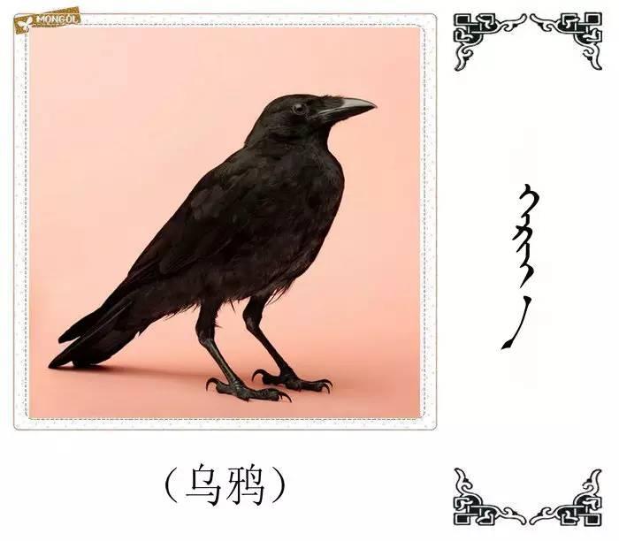 54种鸟类的名字,双语解释(蒙古文 汉语) 第25张