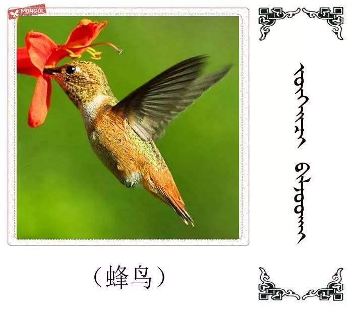 54种鸟类的名字,双语解释(蒙古文 汉语) 第26张