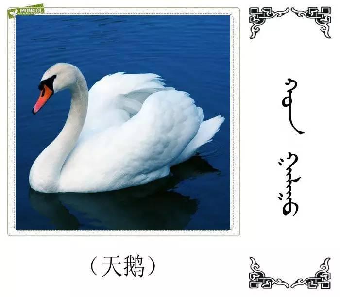 54种鸟类的名字,双语解释(蒙古文 汉语) 第24张