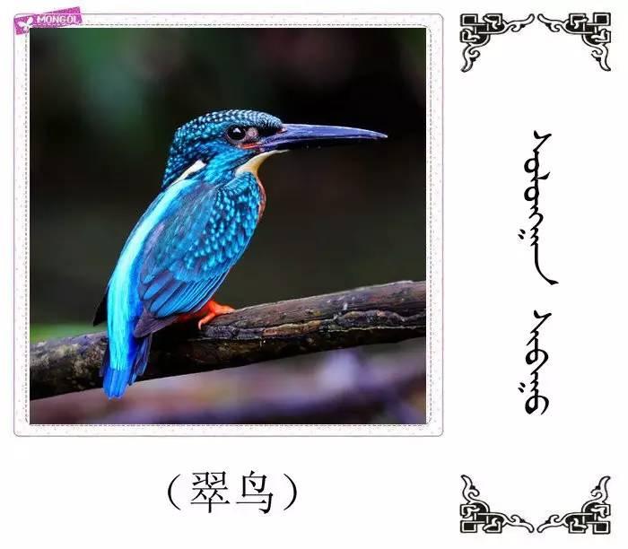 54种鸟类的名字,双语解释(蒙古文 汉语) 第27张
