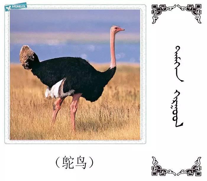 54种鸟类的名字,双语解释(蒙古文 汉语) 第29张