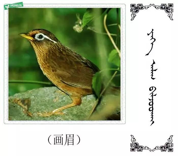 54种鸟类的名字,双语解释(蒙古文 汉语) 第30张