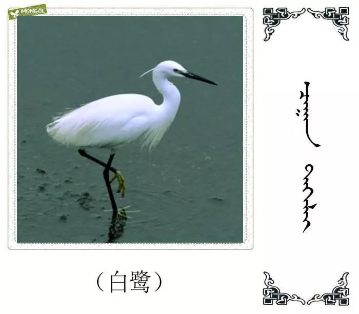 54种鸟类的名字,双语解释(蒙古文 汉语) 第31张