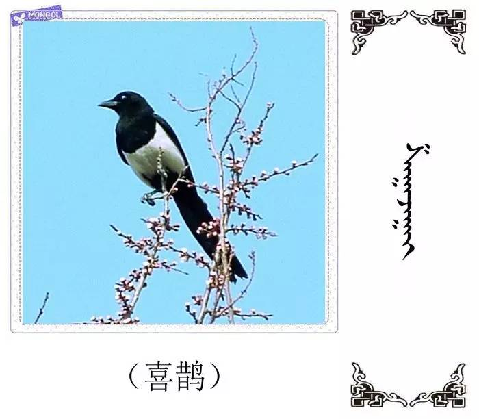 54种鸟类的名字,双语解释(蒙古文 汉语) 第28张