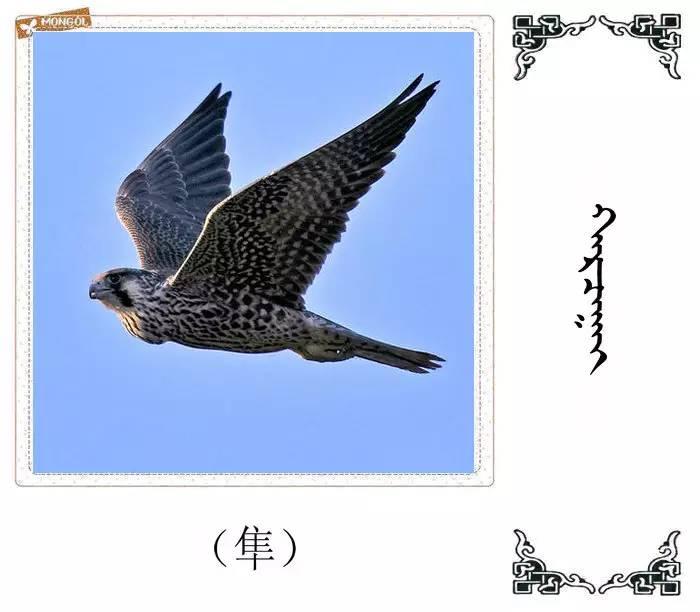 54种鸟类的名字,双语解释(蒙古文 汉语) 第32张