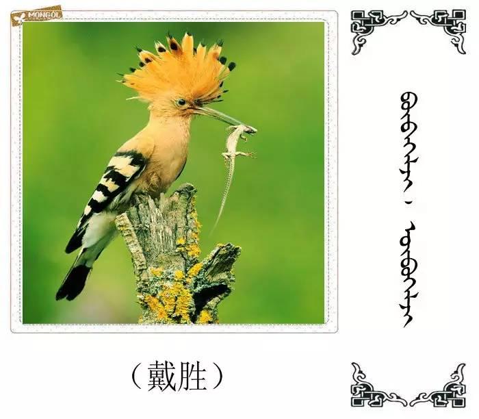 54种鸟类的名字,双语解释(蒙古文 汉语) 第34张