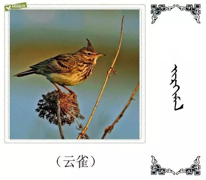 54种鸟类的名字,双语解释(蒙古文 汉语) 第33张