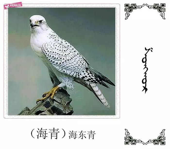 54种鸟类的名字,双语解释(蒙古文 汉语) 第36张