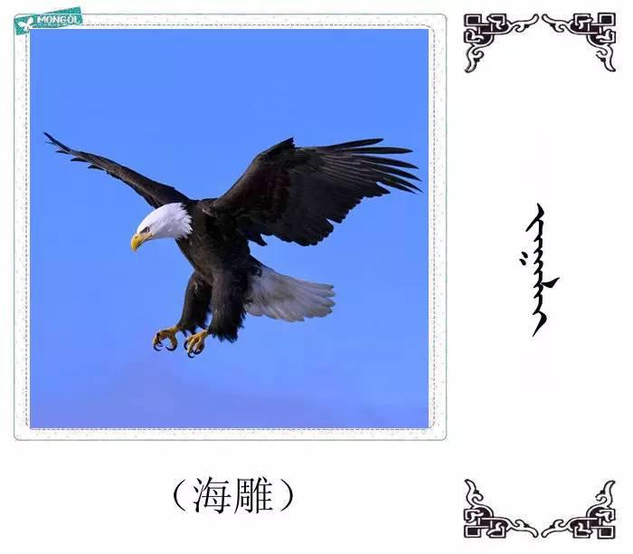54种鸟类的名字,双语解释(蒙古文 汉语) 第39张