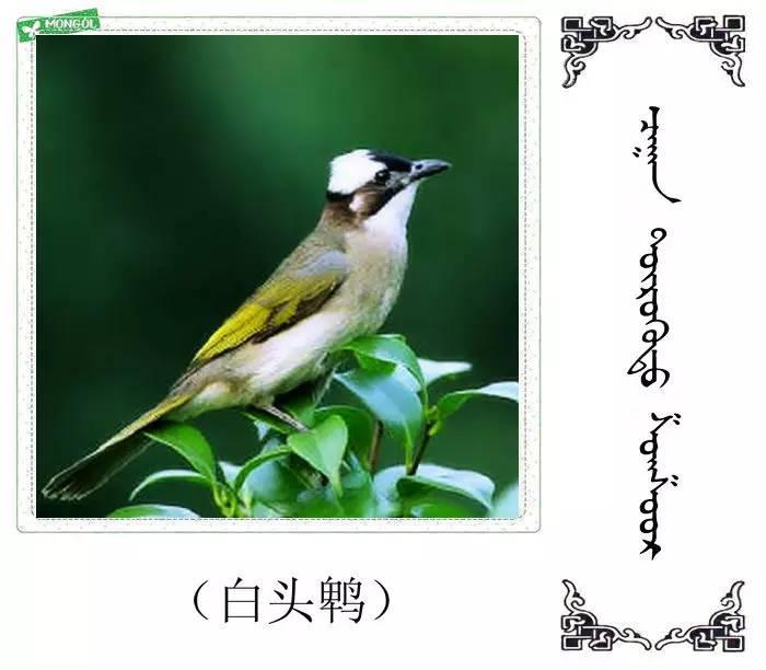 54种鸟类的名字,双语解释(蒙古文 汉语) 第40张