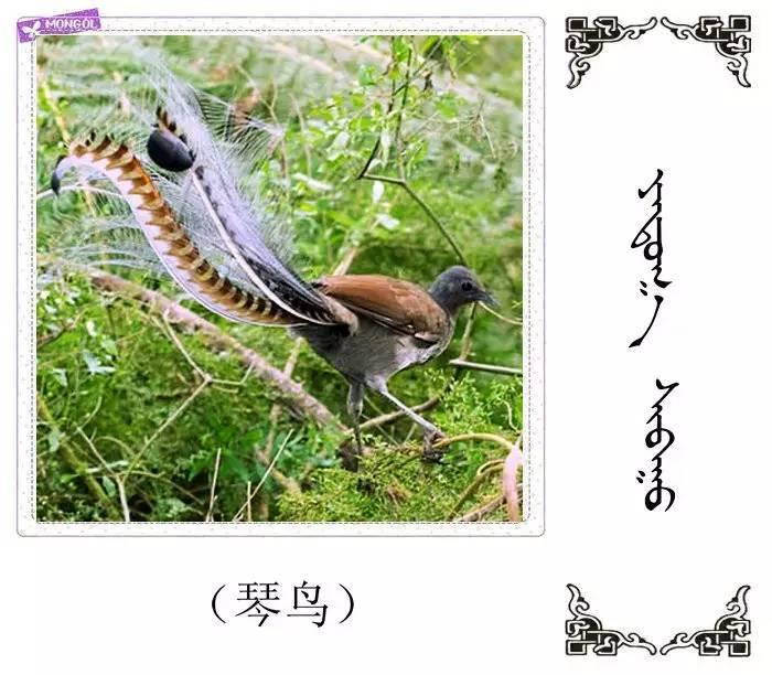 54种鸟类的名字,双语解释(蒙古文 汉语) 第37张