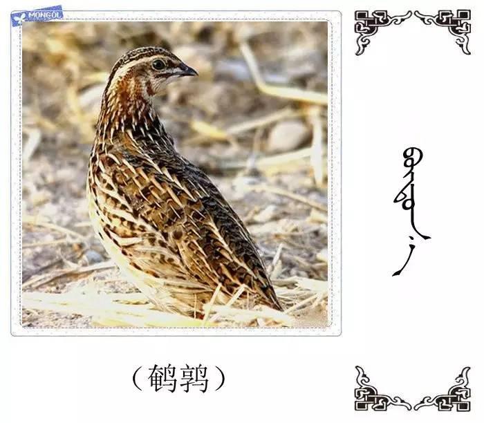 54种鸟类的名字,双语解释(蒙古文 汉语) 第38张