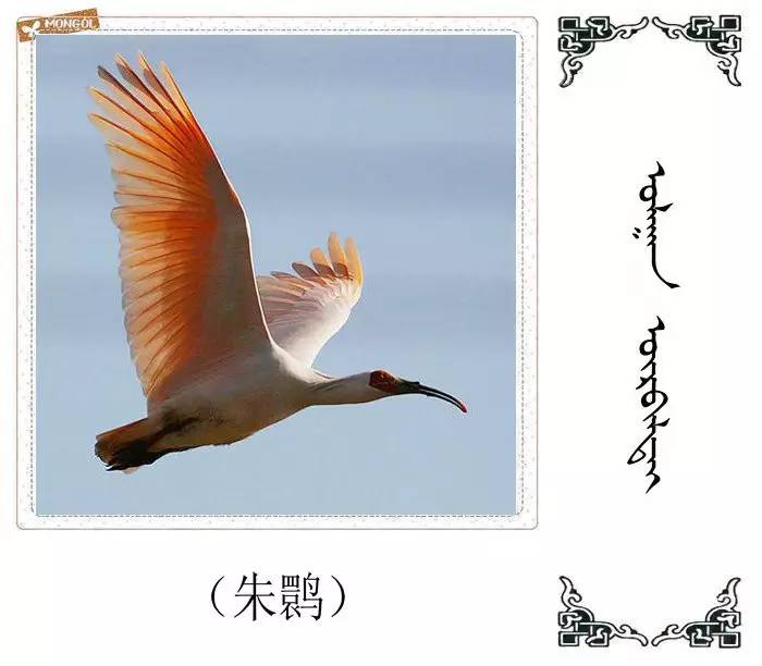 54种鸟类的名字,双语解释(蒙古文 汉语) 第42张