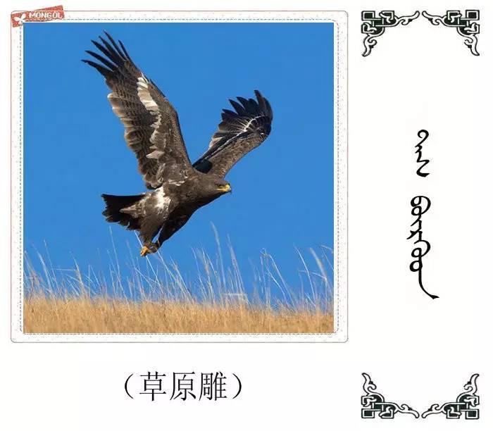 54种鸟类的名字,双语解释(蒙古文 汉语) 第43张