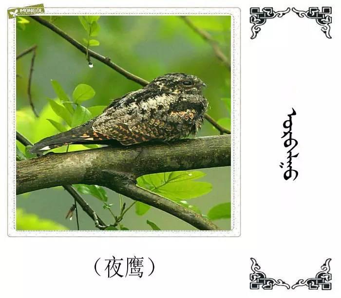 54种鸟类的名字,双语解释(蒙古文 汉语) 第41张