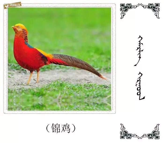 54种鸟类的名字,双语解释(蒙古文 汉语) 第47张