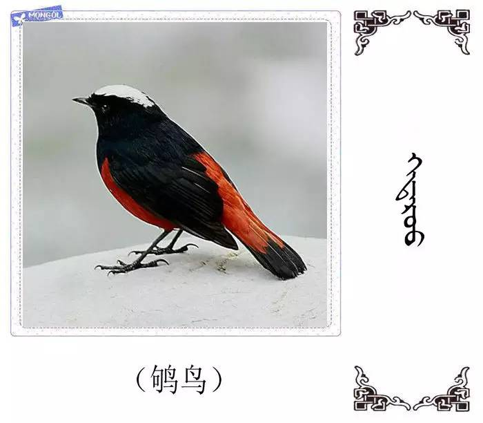 54种鸟类的名字,双语解释(蒙古文 汉语) 第45张