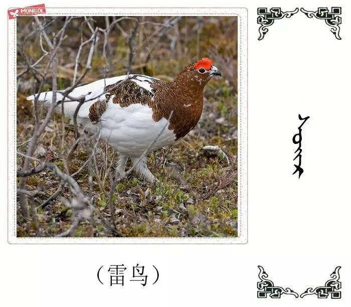 54种鸟类的名字,双语解释(蒙古文 汉语) 第49张
