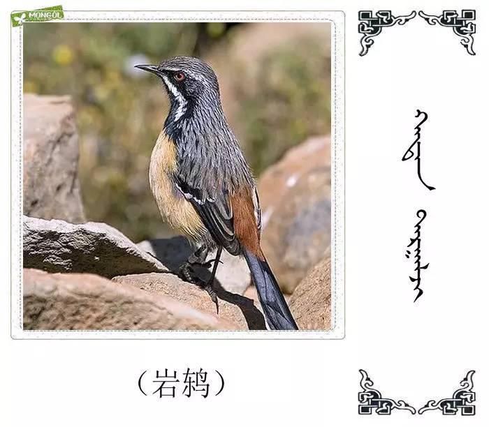 54种鸟类的名字,双语解释(蒙古文 汉语) 第48张