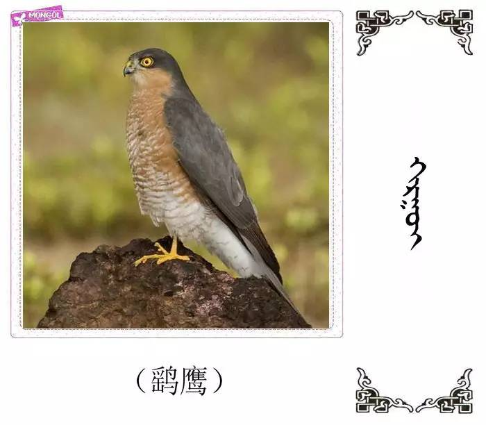 54种鸟类的名字,双语解释(蒙古文 汉语) 第50张