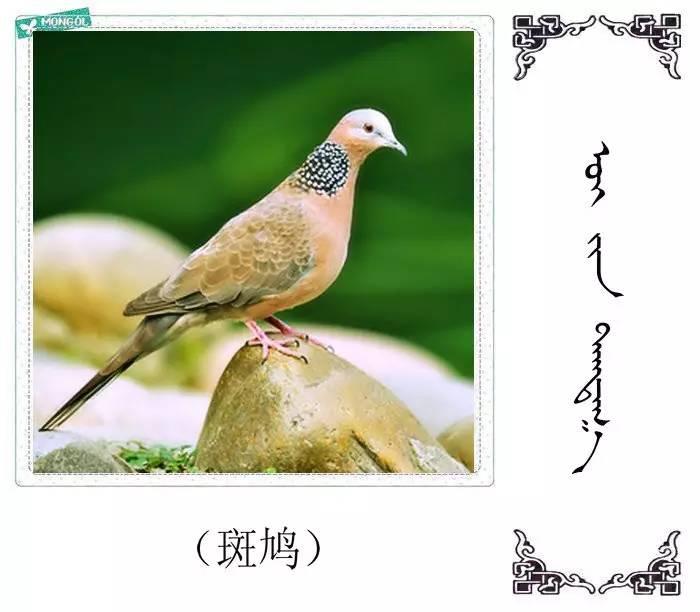 54种鸟类的名字,双语解释(蒙古文 汉语) 第52张