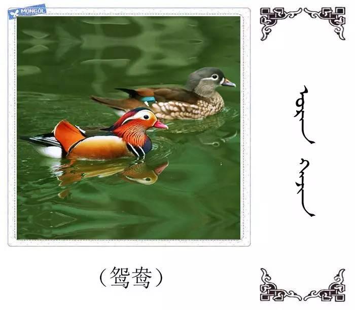 54种鸟类的名字,双语解释(蒙古文 汉语) 第51张