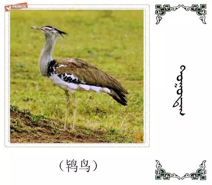 54种鸟类的名字,双语解释(蒙古文 汉语) 第55张