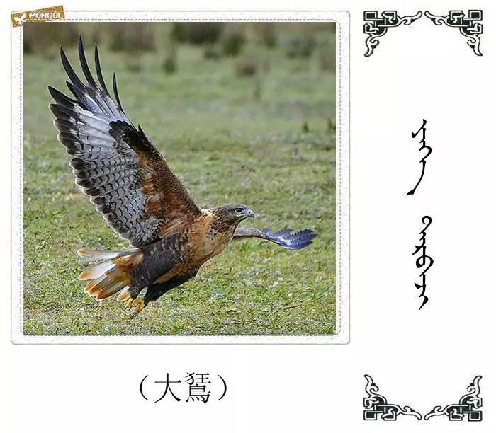 54种鸟类的名字,双语解释(蒙古文 汉语) 第54张