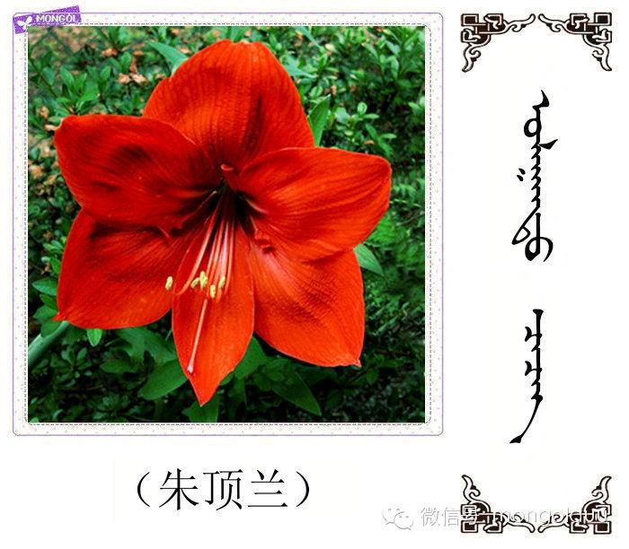蒙古花的名词(花) 第5张