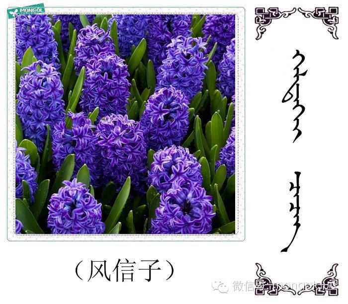 蒙古花的名词(花) 第3张