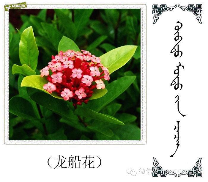 蒙古花的名词(花) 第2张