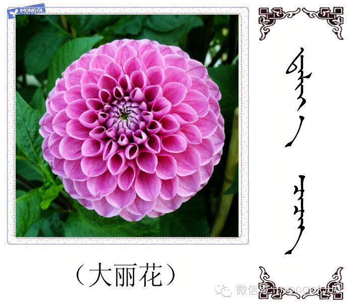 蒙古花的名词(花) 第4张