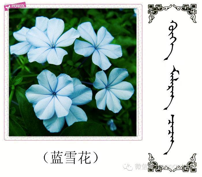 蒙古花的名词(花) 第6张