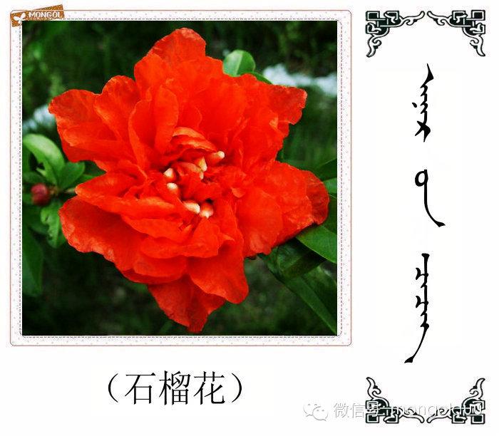 蒙古花的名词(花) 第8张