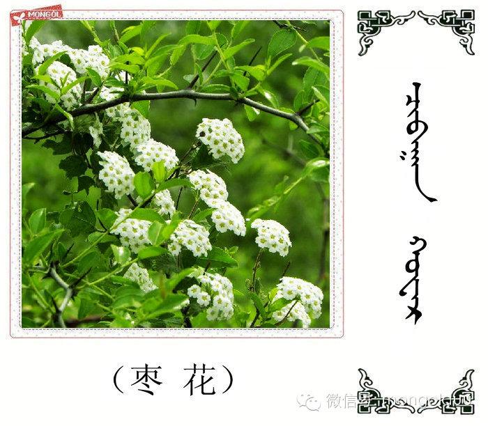 蒙古花的名词(花) 第7张