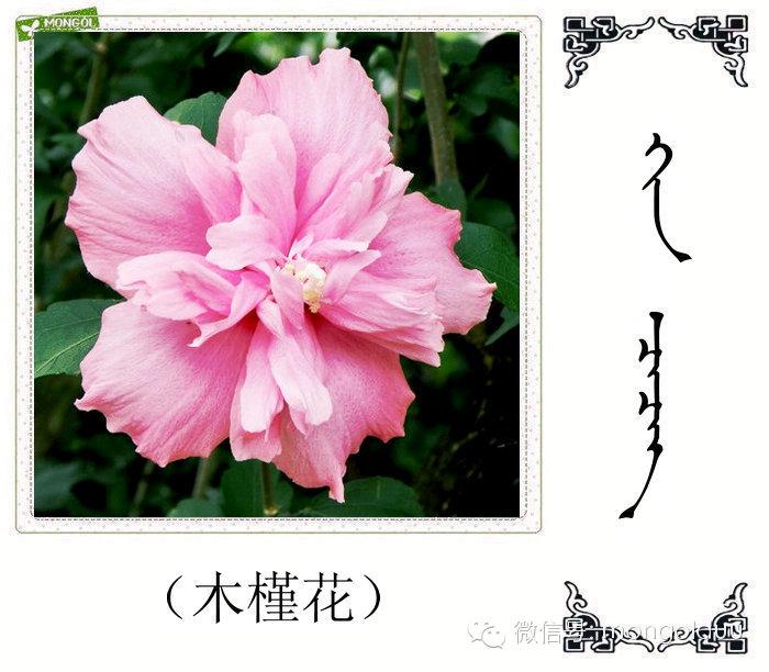 蒙古花的名词(花) 第9张