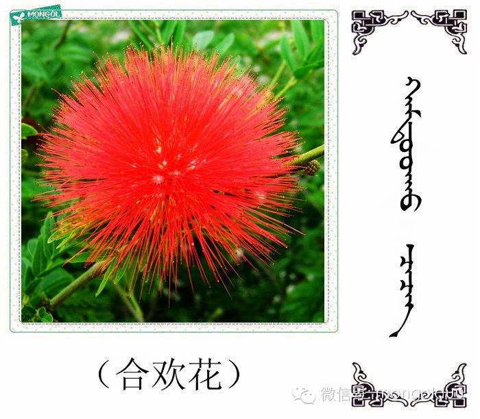 蒙古花的名词(花) 第10张