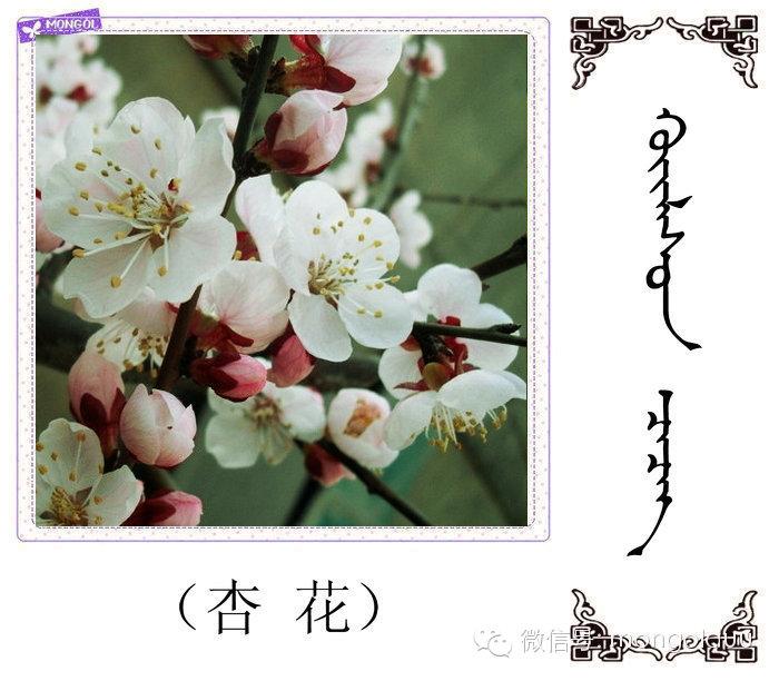 蒙古花的名词(花) 第12张