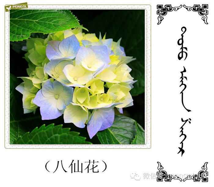 蒙古花的名词(花) 第16张