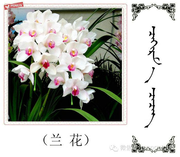 蒙古花的名词(花) 第14张