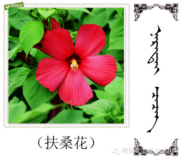蒙古花的名词(花) 第17张