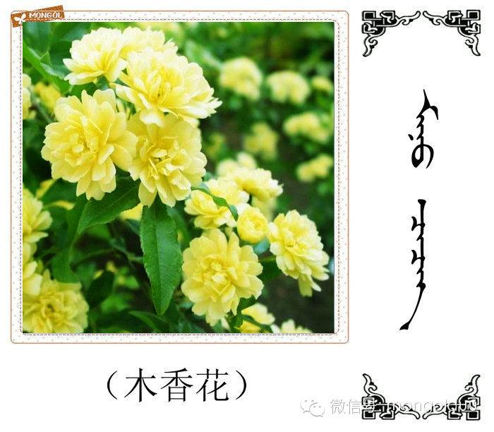 蒙古花的名词(花) 第15张